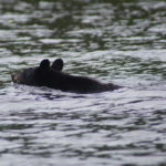 A bear in a lake